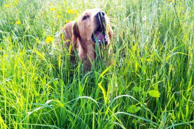 למה כלבים אוכלים דשא